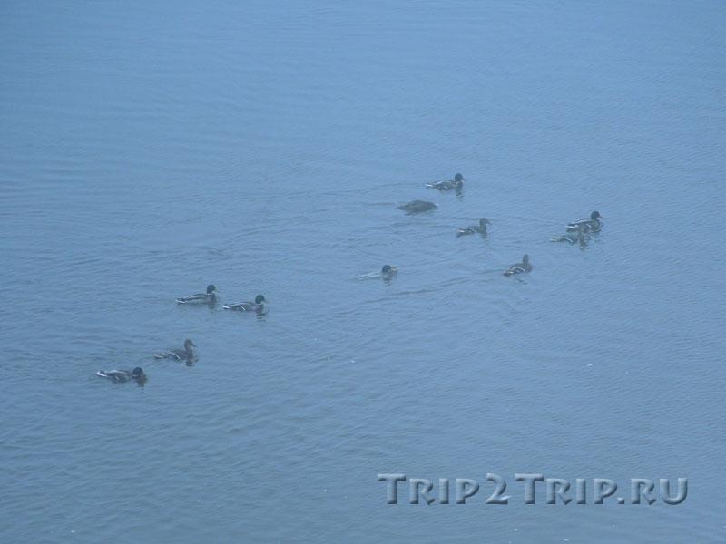 Утки плывут по Волхову, Великий Новгород