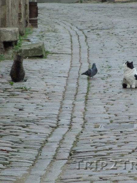 Рижские коты