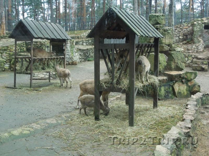 Загон с козлами