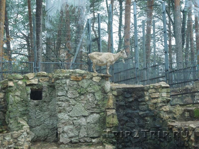 Высоко забравшаяся коза
