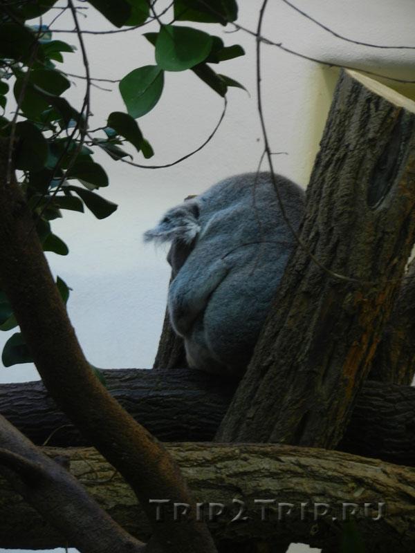 Коала, венский зоопарк
