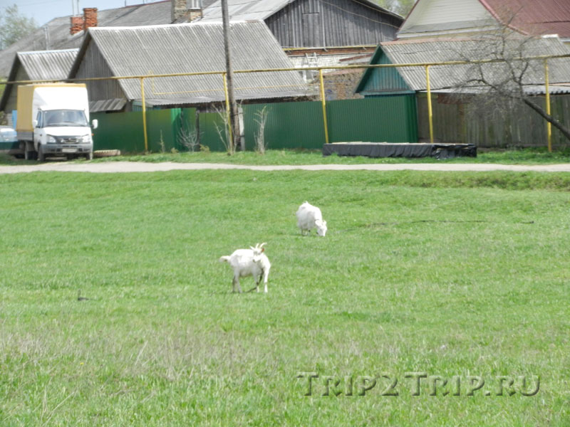 Пасущиеся козы где-то около Никитского монастыря в Переславле-Залесском