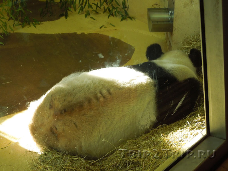 Панда, венский зоопарк