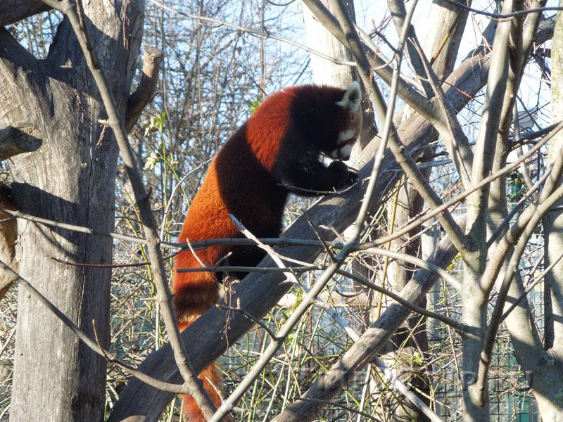 Красная панда, венский зоопарк