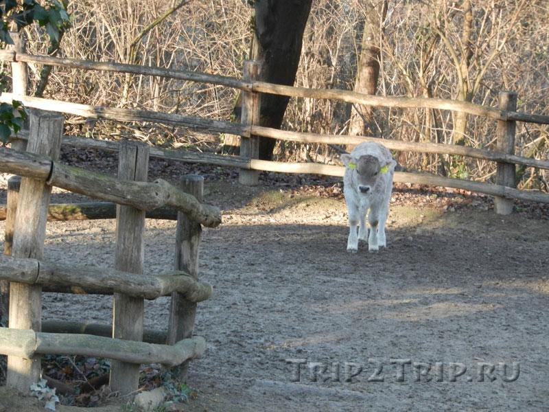 Тирольский бычок, венский зоопарк