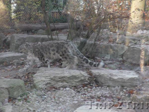 Барс, мюлузский зоопарк