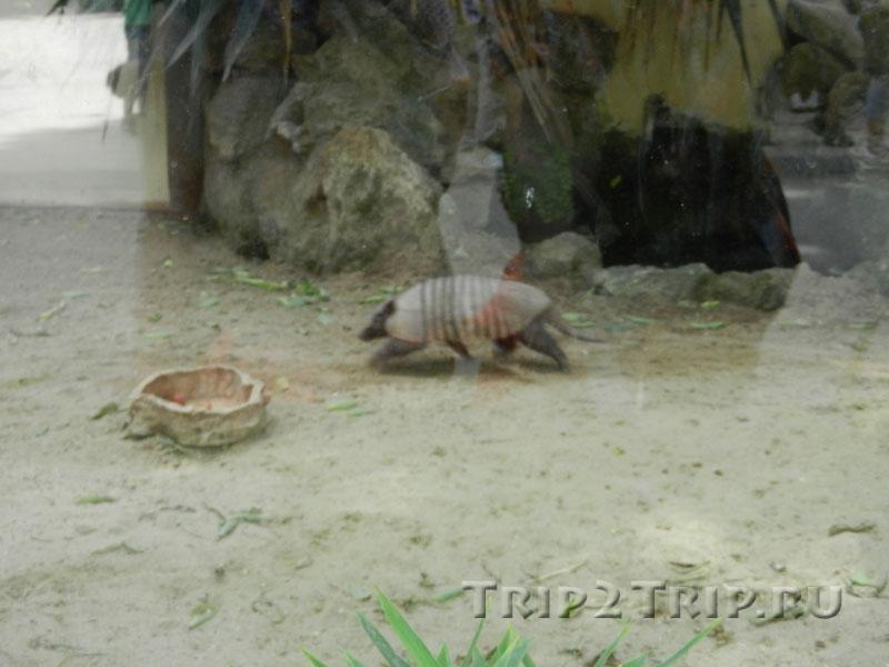 Броненосец, римский зоопарк