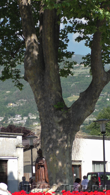 460-летняя липа, Аоста