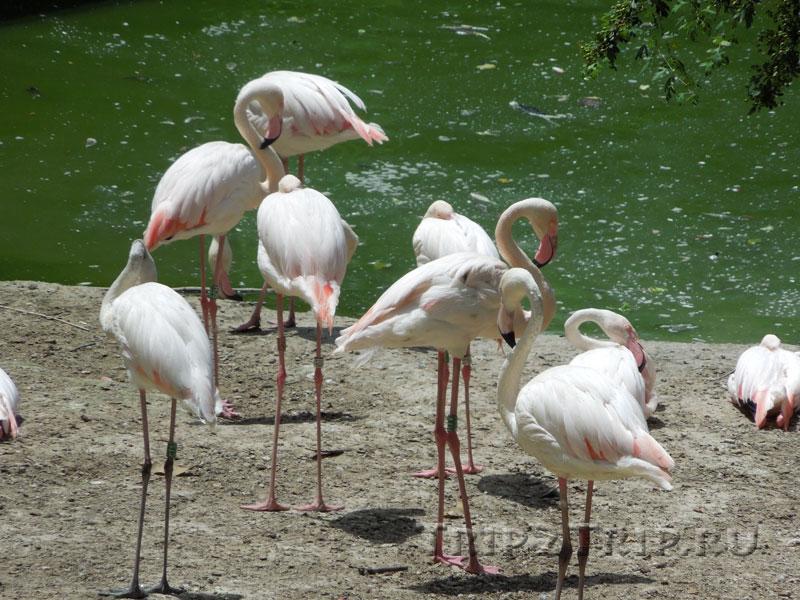 Фламинго, римский зоопарк