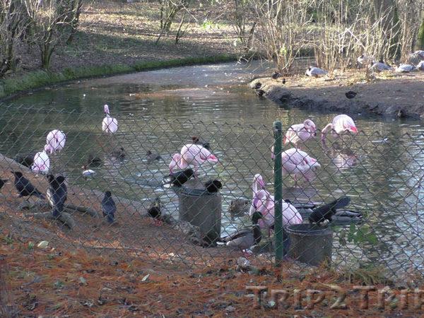 Фламинго, зоопарк в Мюлузе