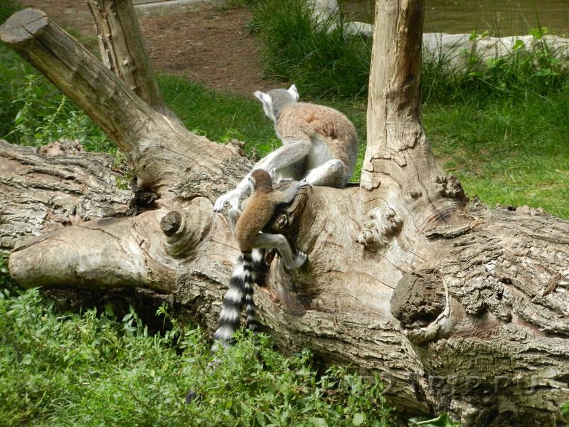 Лемуры, римский зоопарк