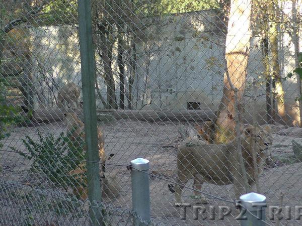 Львы, зоопарк в Мюлузе