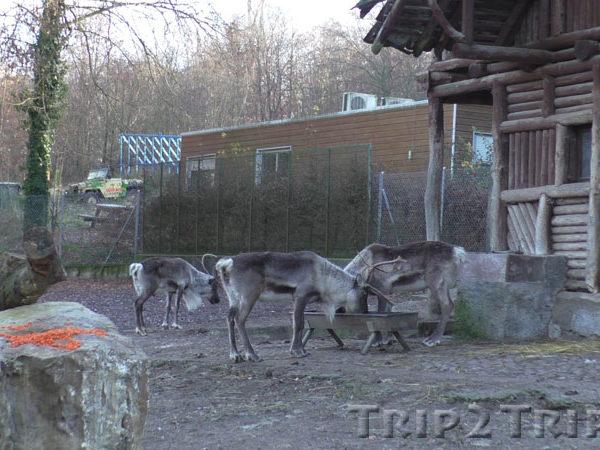 Северные олени, зоопарк в Мюлузе