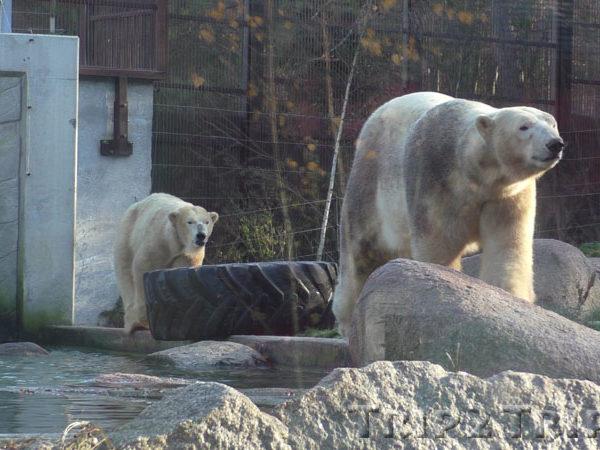 Белый медведь, зоопарк в Мюлузе