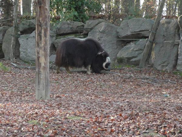 Овцебык, зоопарк в Мюлузе