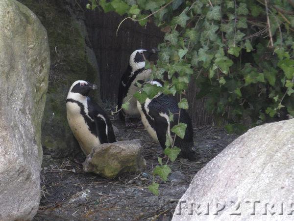 Пингвины, зоопарк в Мюлузе
