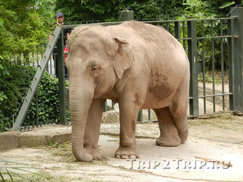 Слон, римский зоопарк