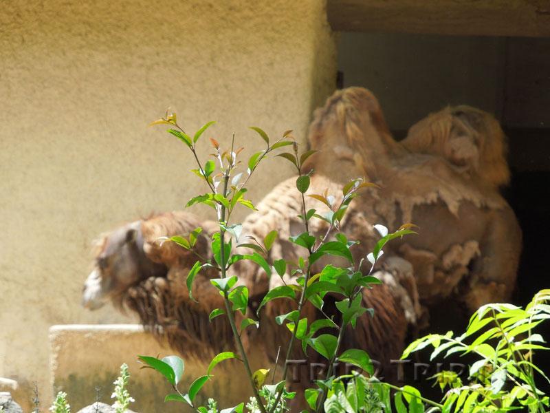Верблюды, римский зоопарк