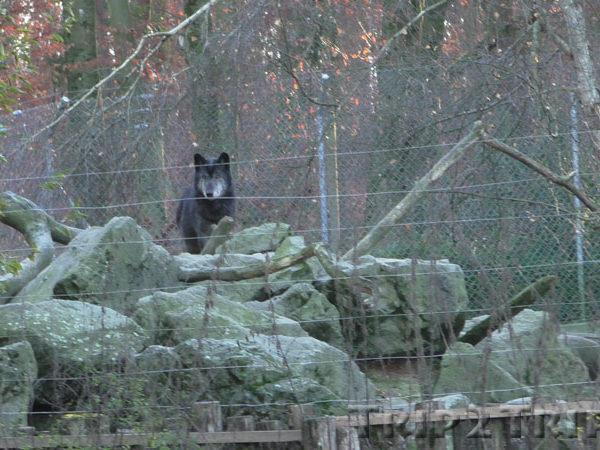 Волк, зоопарк в Мюлузе