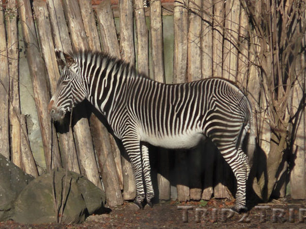 Зебра, зоопарк в Мюлузе