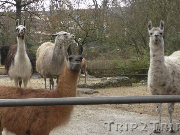 Альпаки, Базельский зоопарк