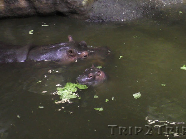 Бегемот в Базельском зоопарке