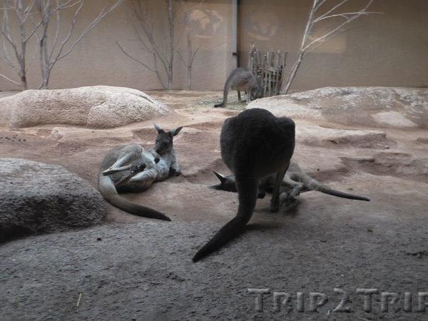 Кенгуру в Базельском зоопарке