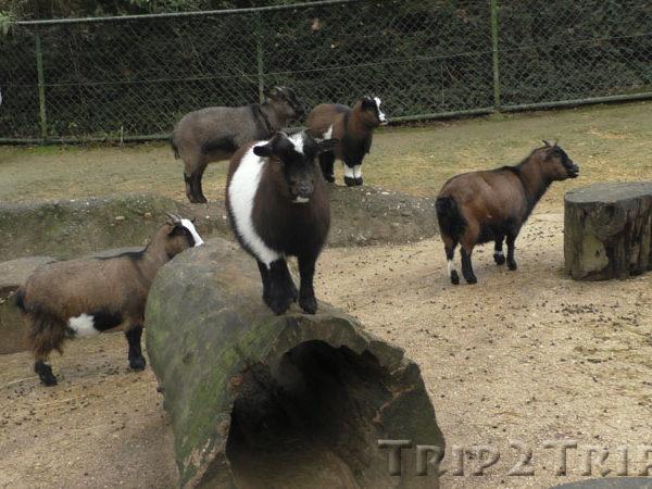 Козы в Базельском зоопарке