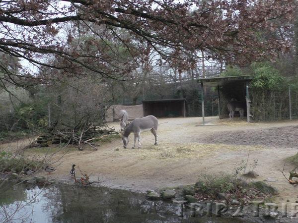 Осел, Базельский зоопарк