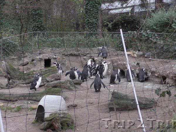 Пингвины в Базельском зоопарке