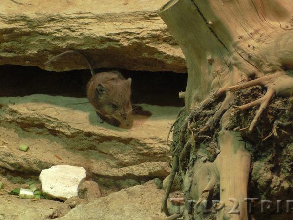 Грызун в Базельском зоопарке