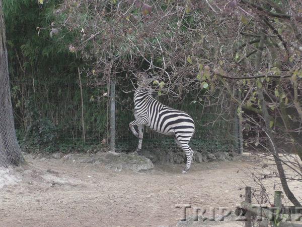 Зебра в Базельском зоопарке