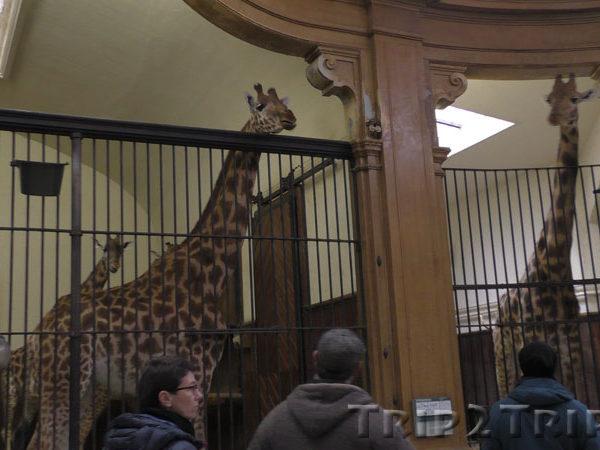 Жираф в Базельском зоопарке